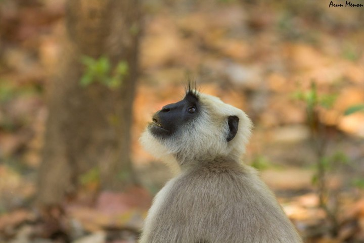 Langur - lost in thought