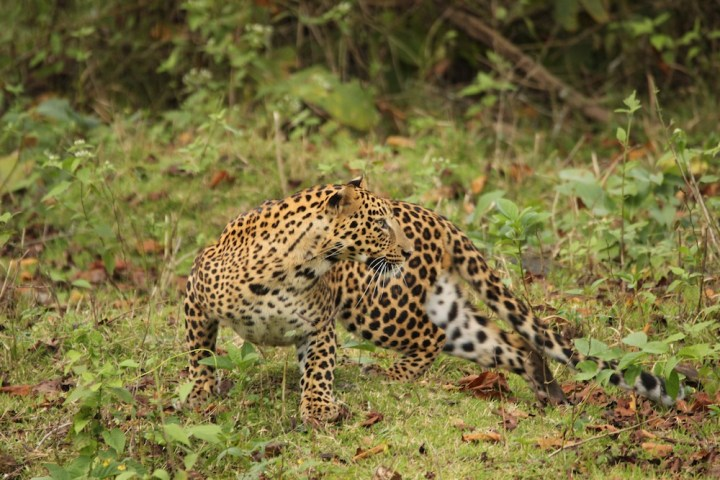 This pose shows the agility of the leopard