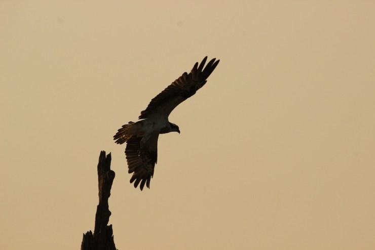 An Osprey takes off