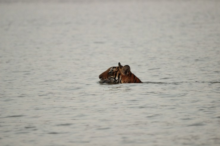 The Tiger made the swim look effortless