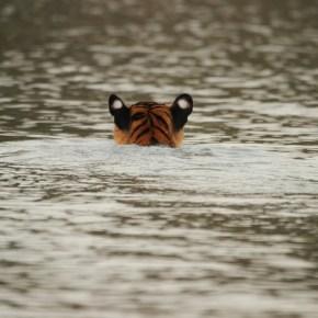 Crouching tourist, swimming tiger at Kabini