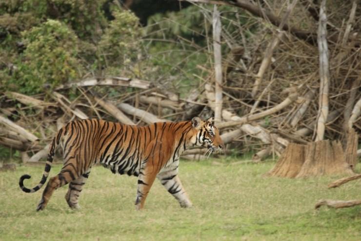 The tiger struts around to find a stump