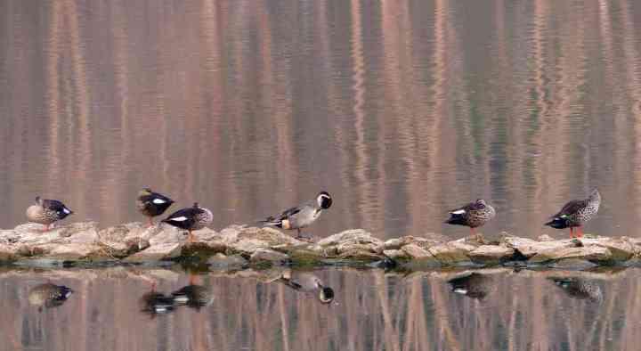 Indian Spot-billed Ducks and a single Northern Pintail drake (centre) at Kaikondrahalli Lake
