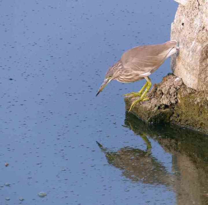 An Indian Pond-Heron looks for a snack