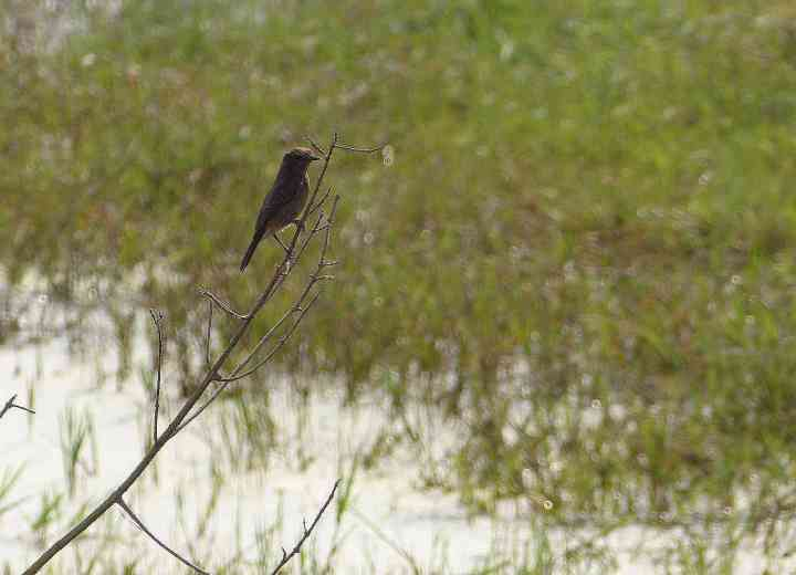 All the while, Lady Bushchat seems least perturbed