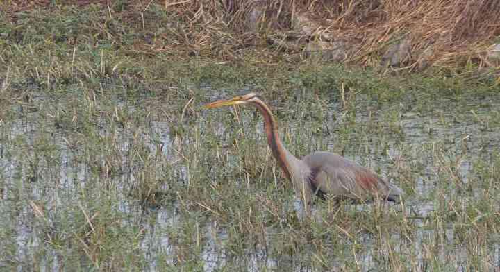 A Purple Heron tries to make itself scarce