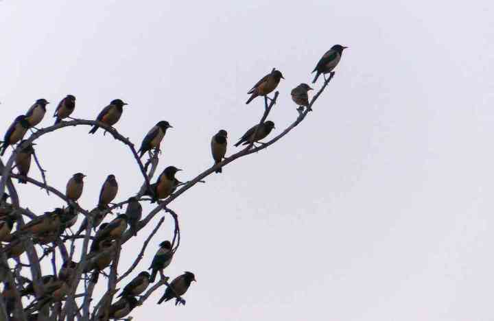 Branches creak under the sheer weight of these tiny birds