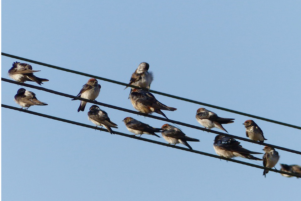 Streak-throated Swallows at rest