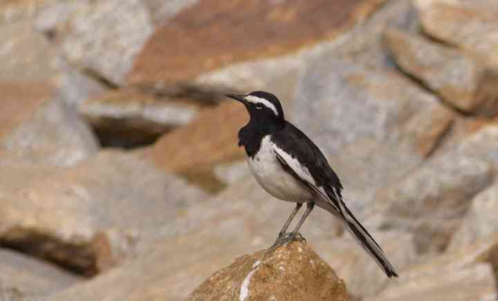 A White-browed Wagtail is a really striking bird