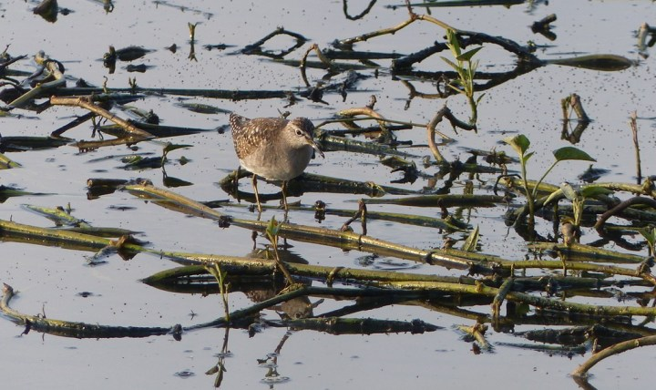 Wood Sandpipers were the most numerous waders