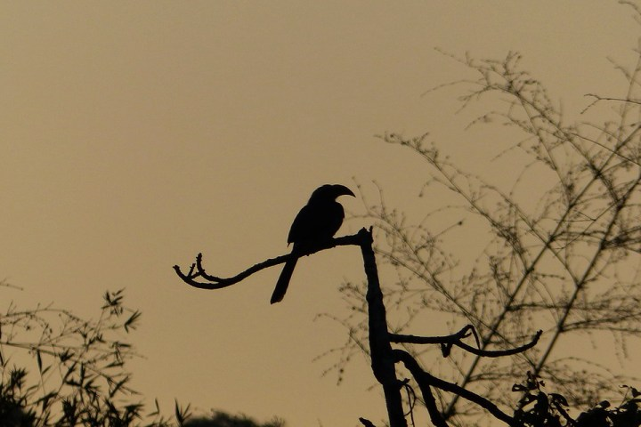 The silhouette of a Malabar Grey Hornbill at dawn
