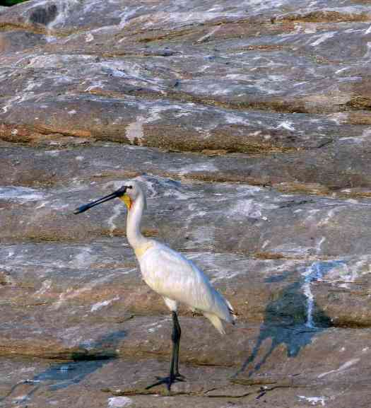 An adult Eurasian Spoonbill in breeding plumage shows its yellow breast patch