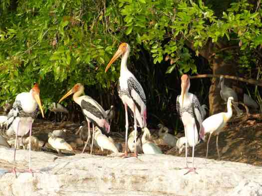 Painted Storks always look like European dignitaries, don't they?