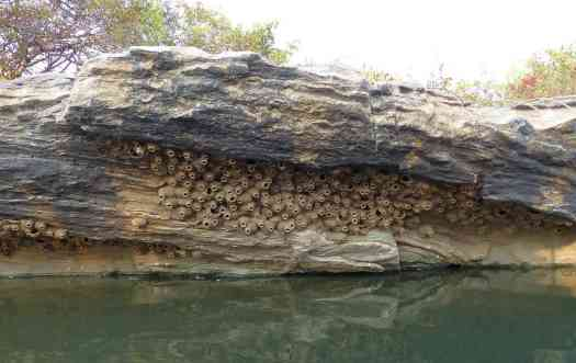 The nests of the Streak-throated Swallow