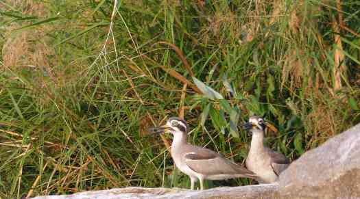 Great Thick-Knee - a pair