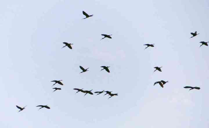 A big flock of Glossy Ibis in overhead flight