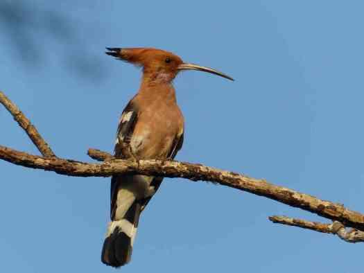A Hoopoe in the Nilgiris