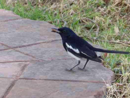 Oriental Magpie-Robin in the Nilgiris