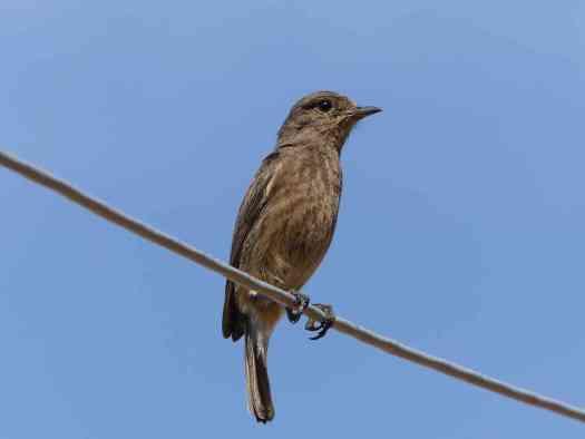 Pied Bushchat female in the Nilgiris