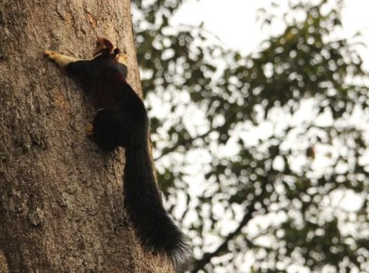A Giant Squirrel in the rainforest in Valparai