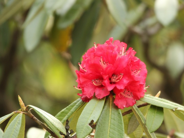 The Rhododendron is the state flower of Uttarakhand