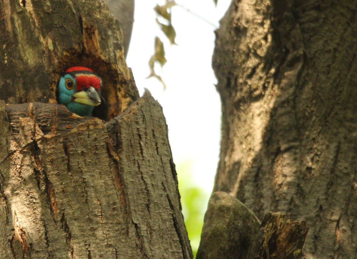The Blue Throated Barbet felt at home with my presence