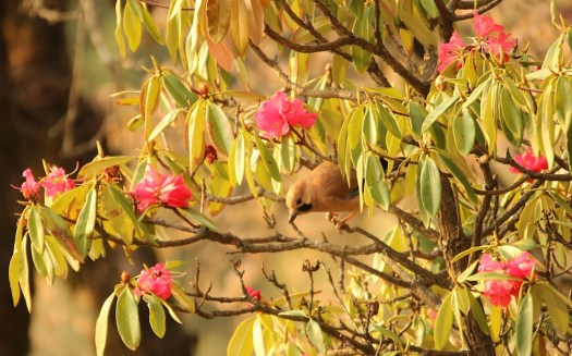 A Eurasian Jay among Rhododendrons