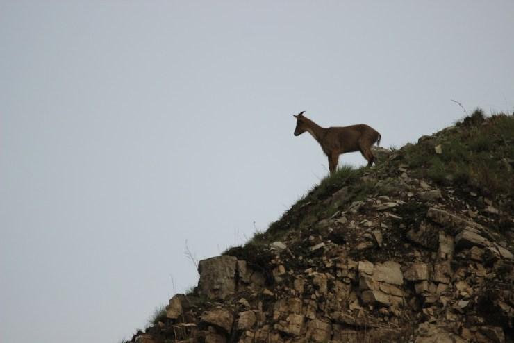 A goral at vantage in Pangot