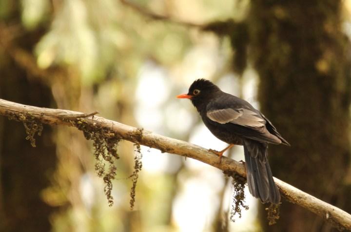 A Grey-winged Blackbird seeks out breakfast in Pangot, Uttarakhand