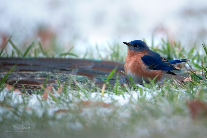 Eastern Bluebird contemplating the day's agenda.