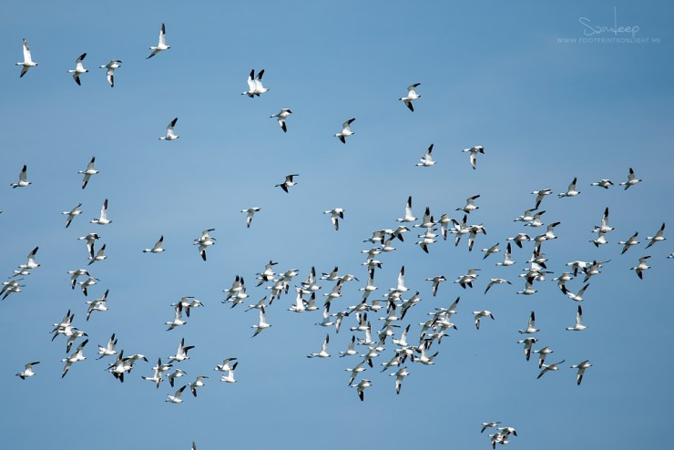 A flock of snow geese