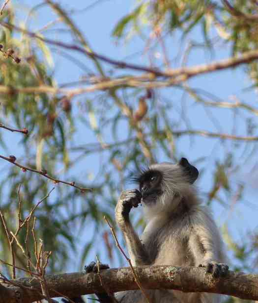 Tufted Gray Langur at Horsley Hills