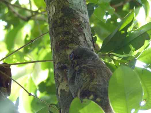Against the bark of the tree, the Colugo is neatly camouflaged