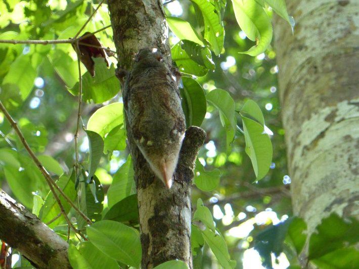Colugo or Sunda Flying Lemur in Bako National Park