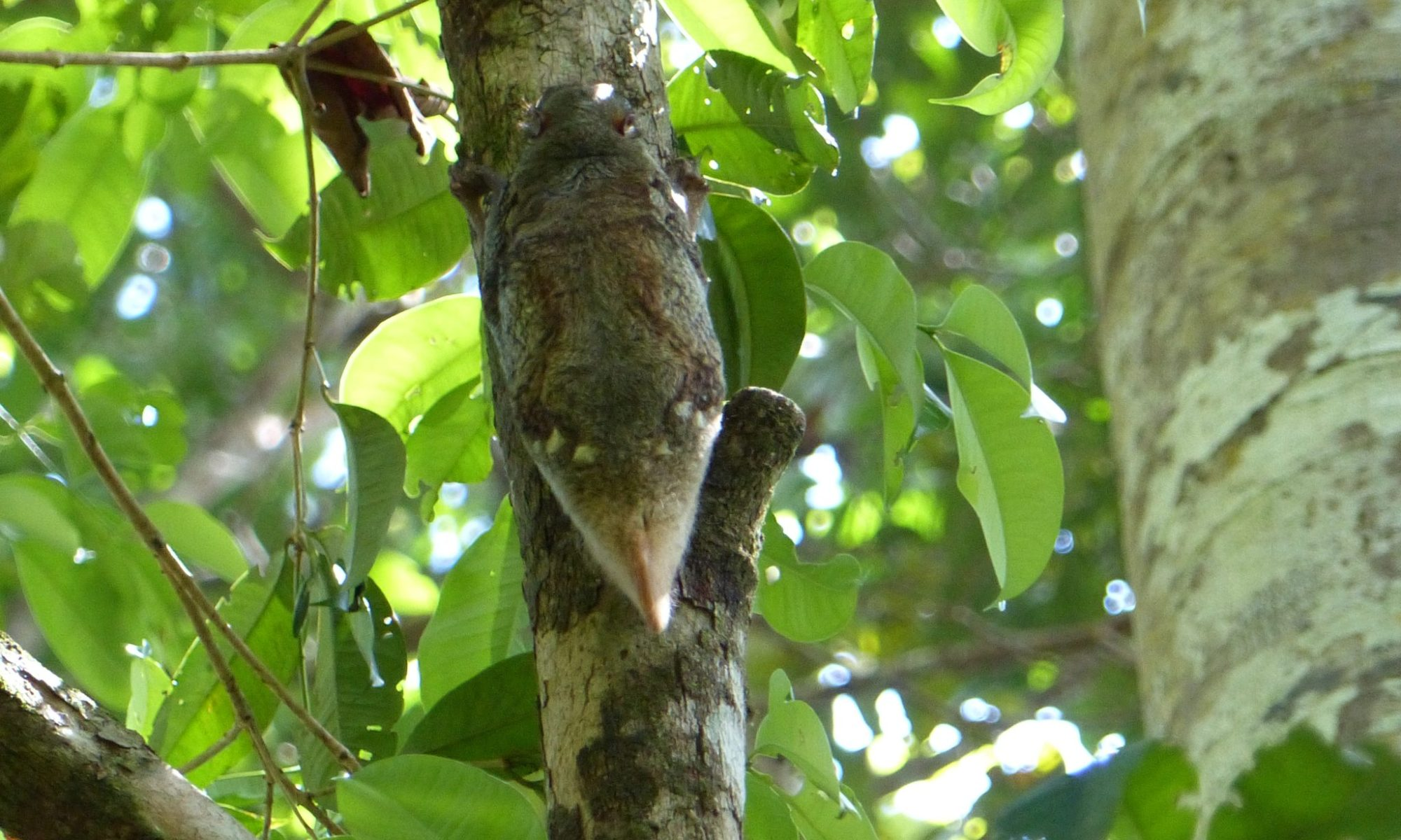 Colugo or Sunda Flying Lemur in Bako National Park