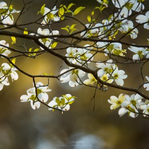 Dogwood Day Afternoon – A walk in the flowering woods