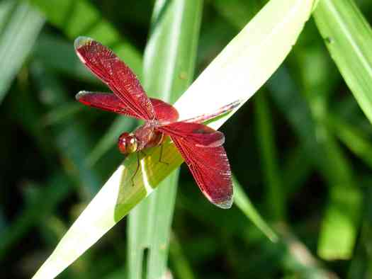 A striking maroon dragonfly holds a pose for a second