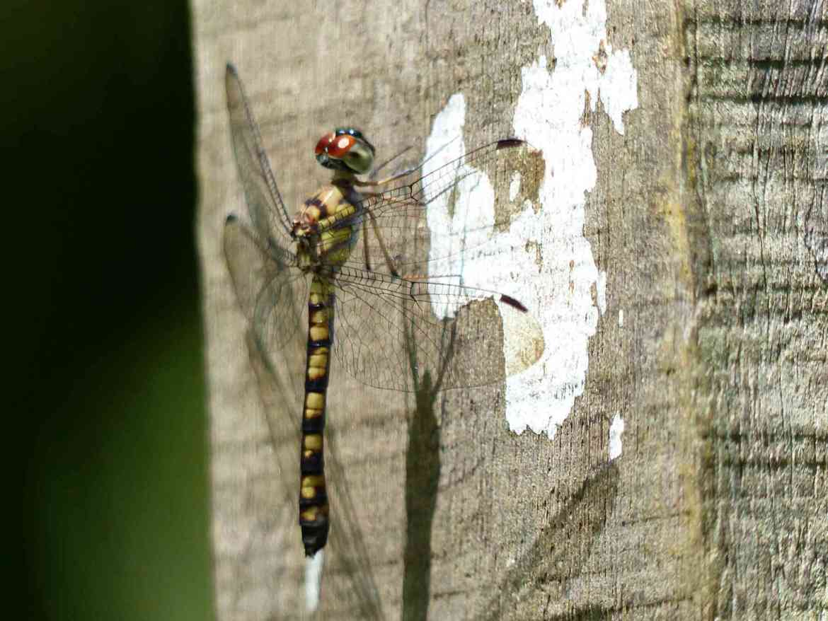 A large dragonfly calls out for attention
