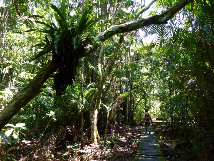 In Bako National Park, on the trail of the Colugo