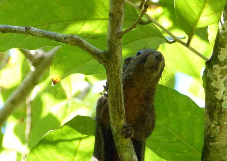 Plantain Squirrel in Bako National Park, home of the Colugo