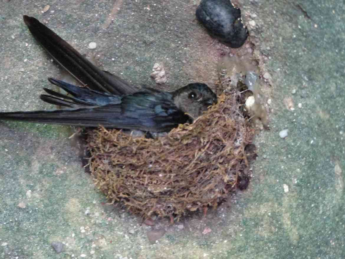 A Glossy Swiftlet in its nest at Bako National Park, home of the Colugo