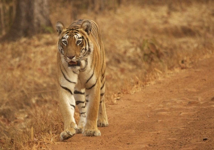 Choti Tara - Tadoba tiger with cubs