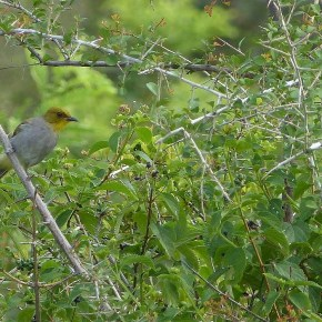 Encounter – Yellow-throated Bulbul at Rishi Valley