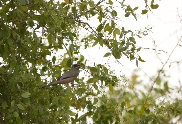 Grey Hypocolius in Kutch