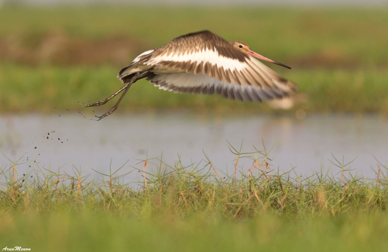 Black-tailed Godwit at Mangalajodi