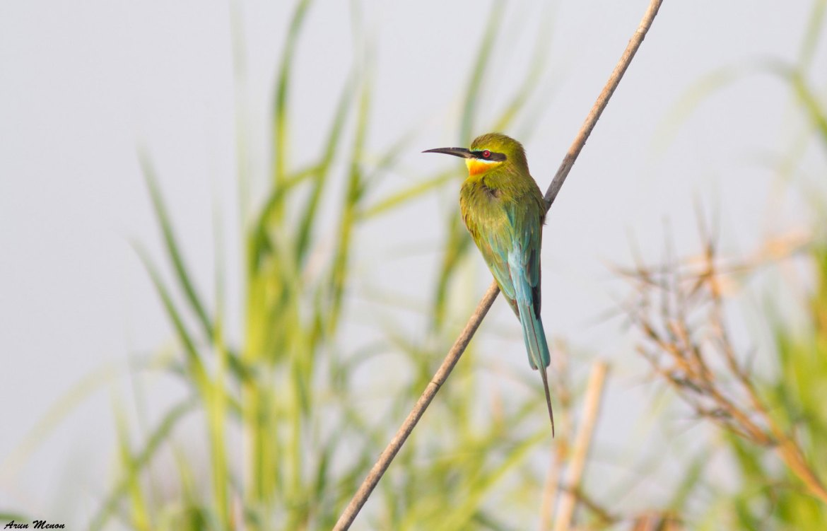 Blue-tailed Bee-eater at Mangalajodi