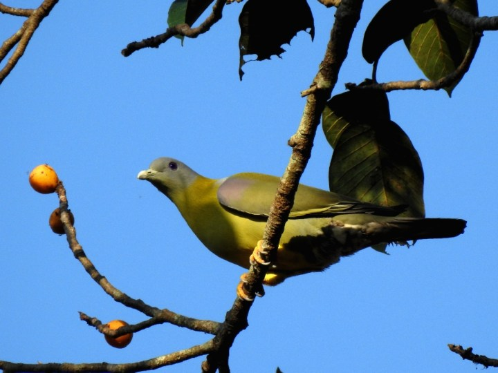 Yellow-footed Green Pigeon at Dandeli