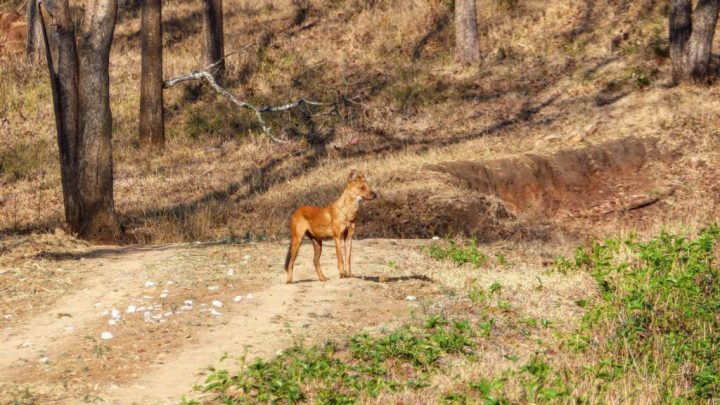 Dhole scout at Kabini
