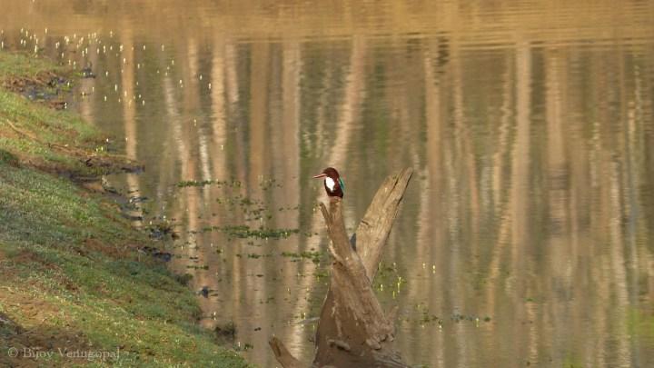 Kabini Water hole kingfisher