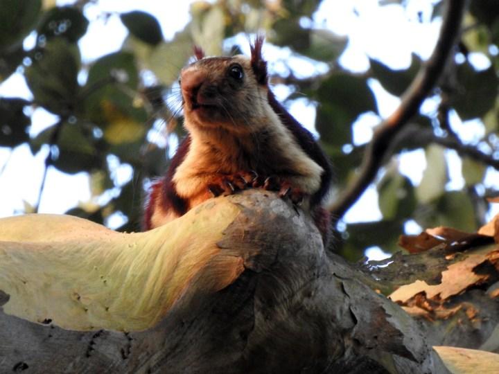 Malabar Giant Squirrel at Dandeli